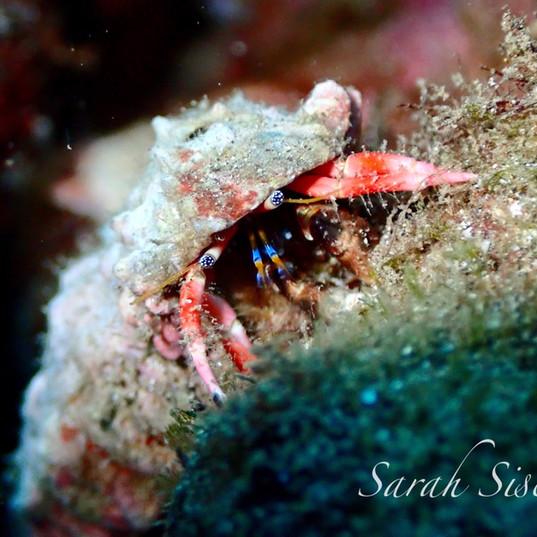 Blue-eyed hermit crab