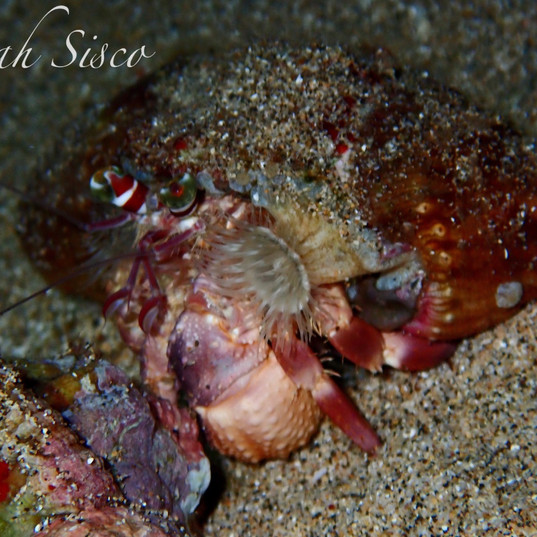Jeweled anemone crab