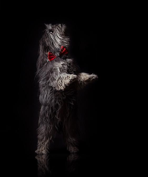 Zora, the swiss puppy