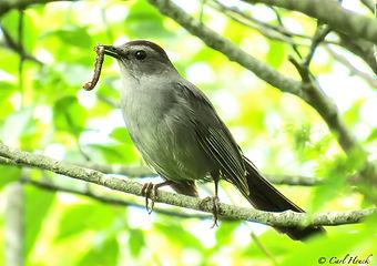 Gray Catbird, Wild Black Cherry.jpg