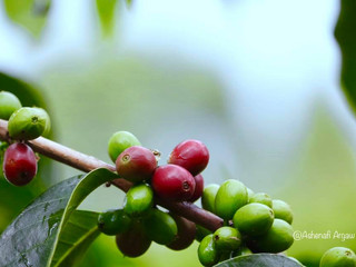 Coffee is Ethiopia's Treasure