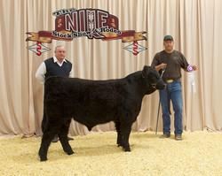 Champion Galloway Bull