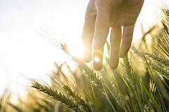 Hand of a farmer touching ripening wheat