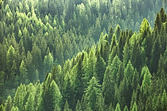 Healthy green trees in a forest of old s
