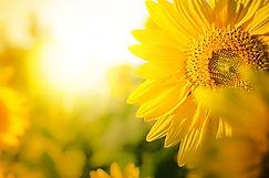 Sunflower circle big yellow flower warm