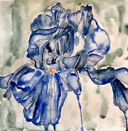 Blue Iris V