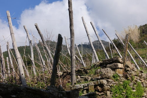 The gnarly vines are trained against the wind from the sea, anticipating that the breeze will push them upright