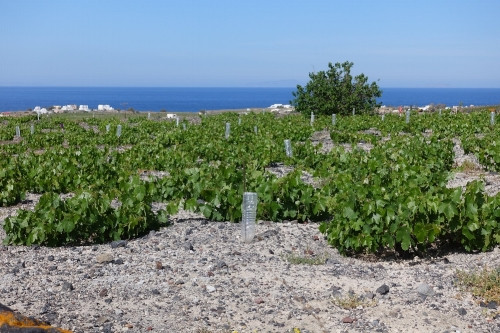 In Santorini, vines are trained low to the ground in a basket shape to collect morning dew