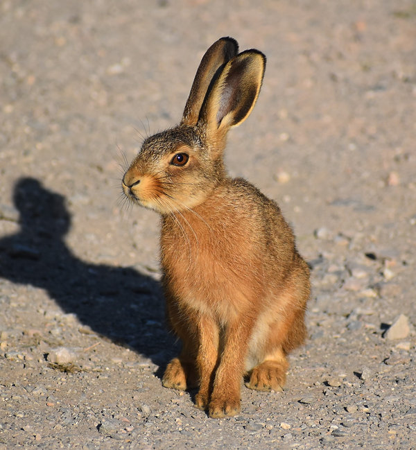 Leveret - Young Hare
