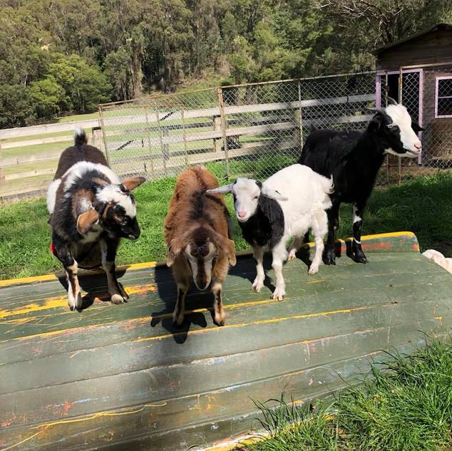 Miniature Goats