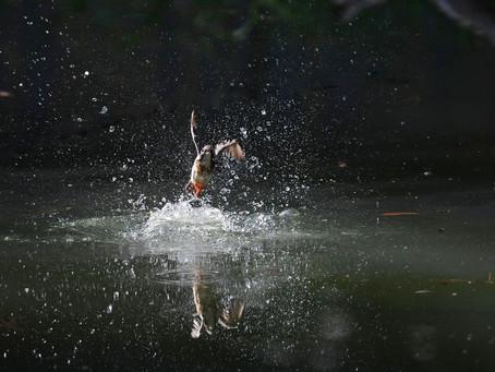 久しぶりに「カワセミの池」へ