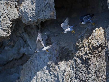 断崖絶壁のハヤブサ
