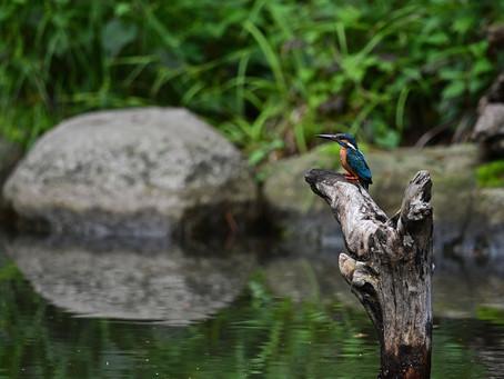 カワセミ池にて