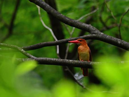 今日も赤い鳥を
