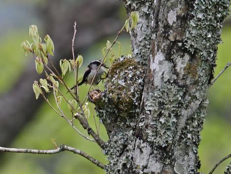 エナガの巣が見事です。