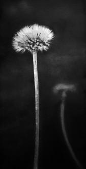 Dandelion Protection