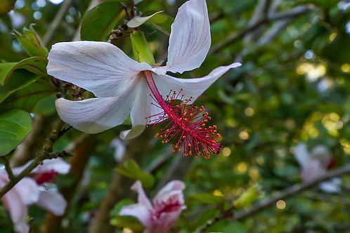 Endemic Hibiscus