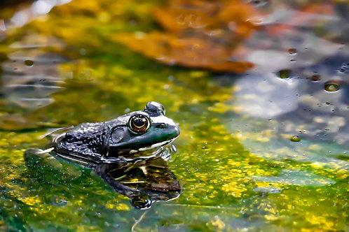 Frog Reflecting