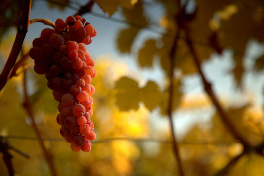 Zierfandler Weingut Österreicher aus Pfaffstätten