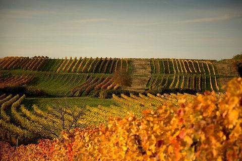 Herbst im Weingarten Weingut Österreicher aus Pfaffstätten