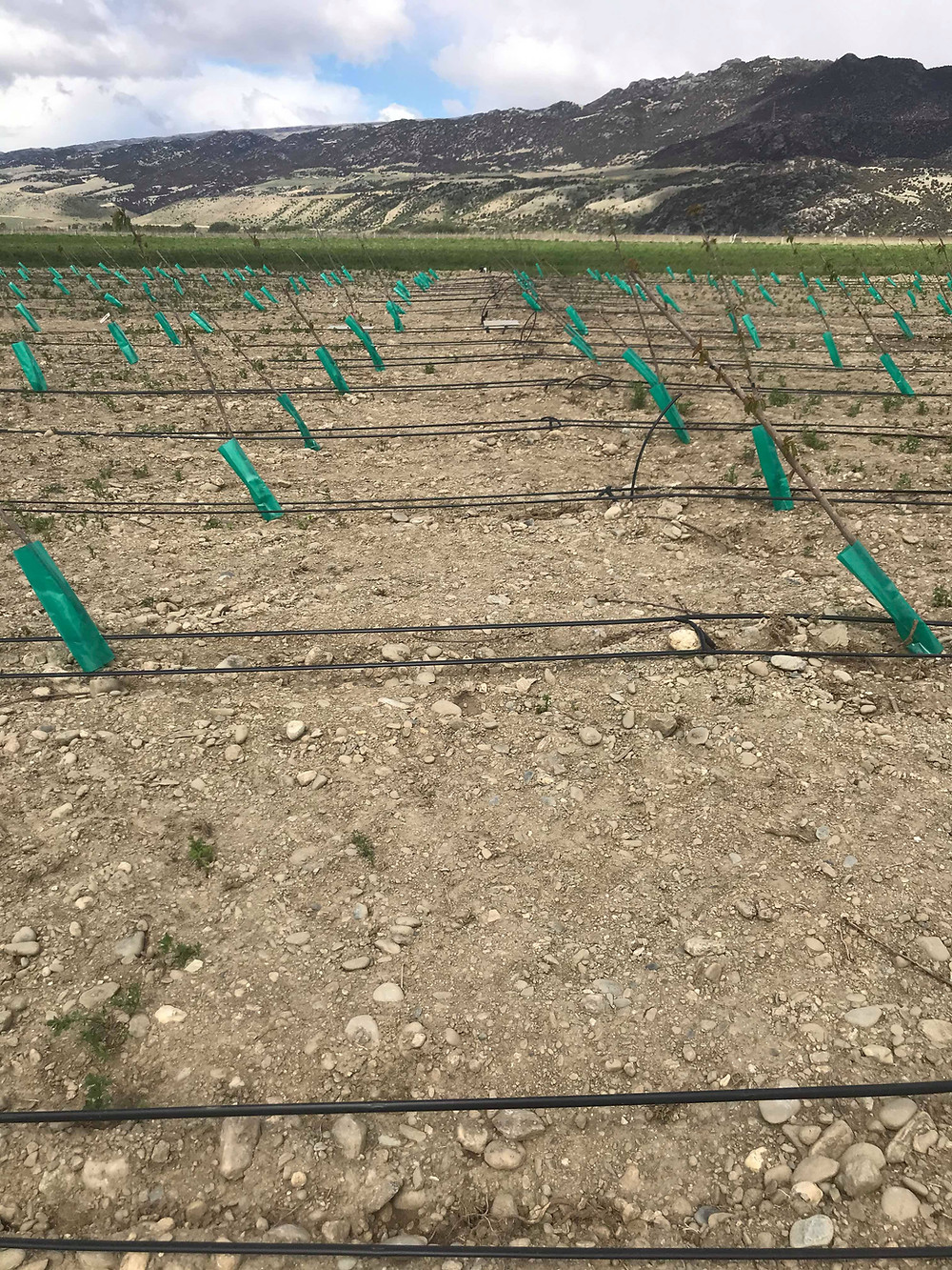 2.3mm ground based drip lines irrigating cherry trees