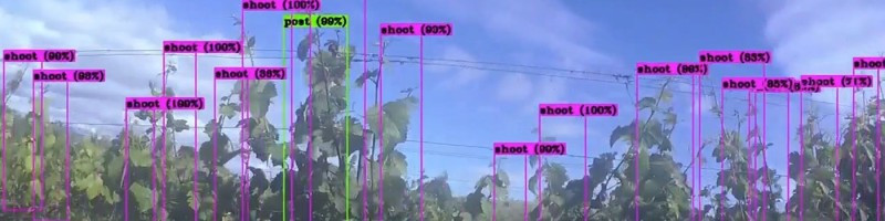 AI computer detecting grapes on vines in a vinyard