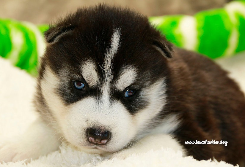 Picking out your puppy, Black