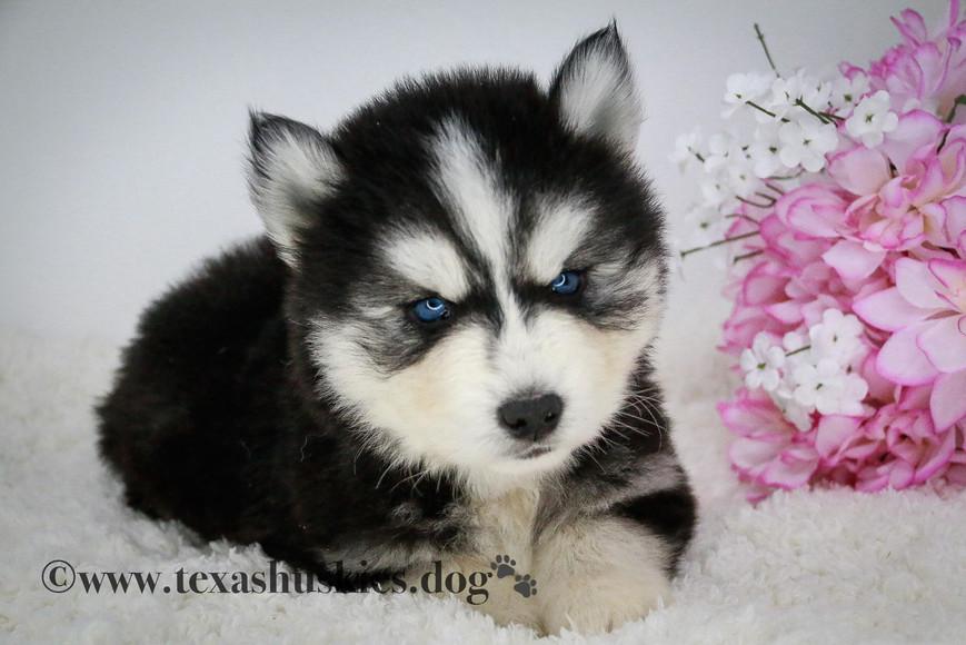 Texas Siberian Husky Breeder