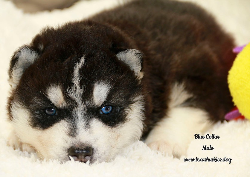 Picking out your puppy, Blue
