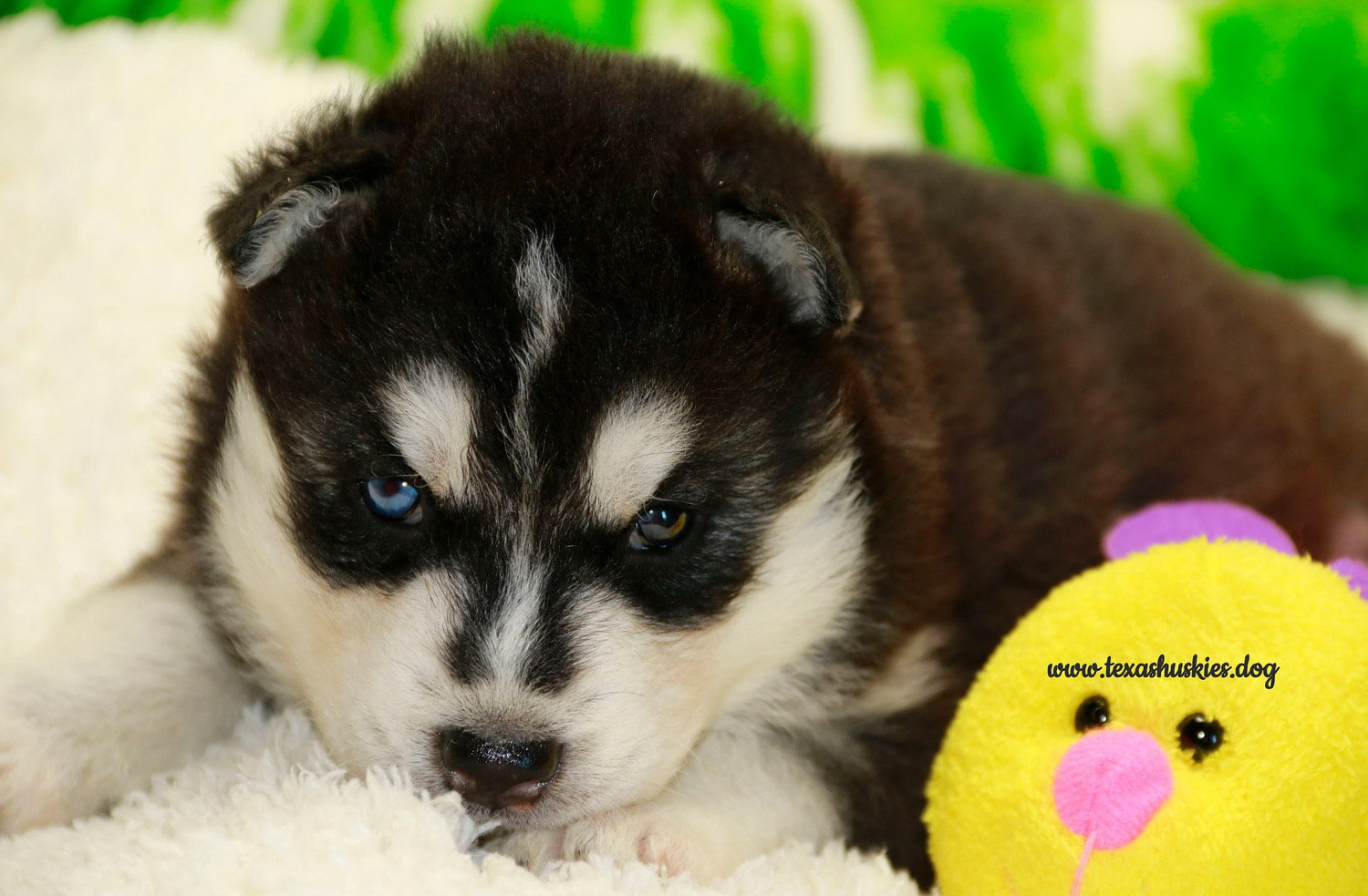 Picking out your puppy, Purple