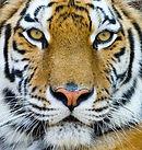 TVOR - Tiger.jpg