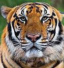 Tiger_FB Post.jpg