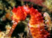 malapascua cavalluccio 3.jpg