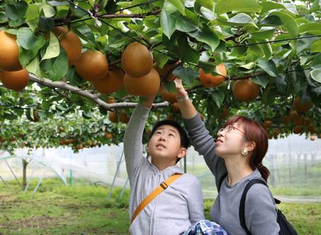 那須烏山市の大野果樹園で収穫イベント