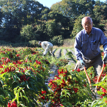 「トウガラシ生産量日本一」宣言