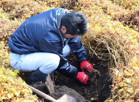 大田原市でヤマトイモの産地化を目指しています