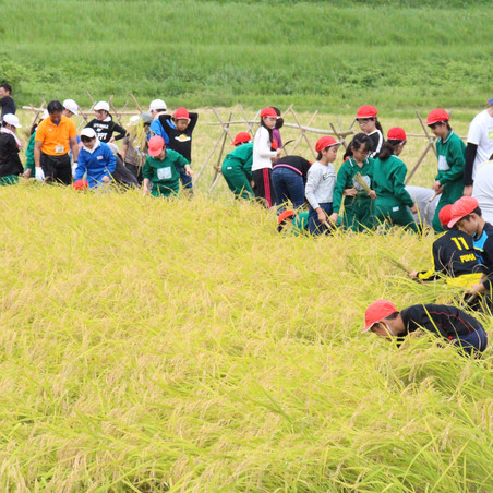 乙女小学校稲刈り教室 今年も開催