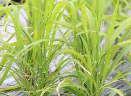 幻の陸稲「エソジマモチ」