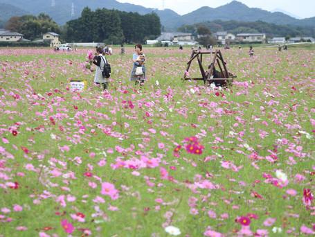 花あふれる町に コスモス祭り
