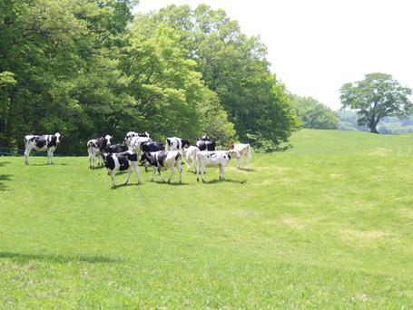 育成乳牛の放牧 仲間と健やかに