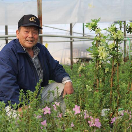 サツキ苗木150品種 鹿沼土を利用