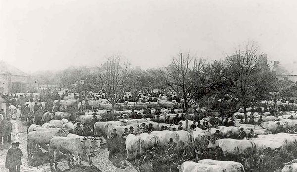 Le marché aux bovins à Cosne d'Allier dans l'entre deux guerres