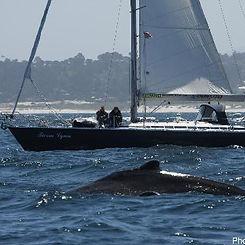 Whales and a sailboat near Carmel Beach