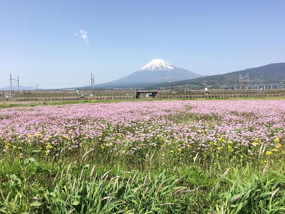 富士山とれんげ畑