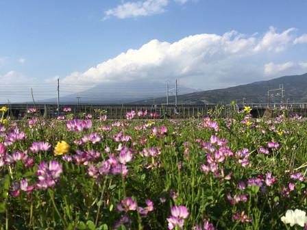 4月13日雨上がりのれんげ畑