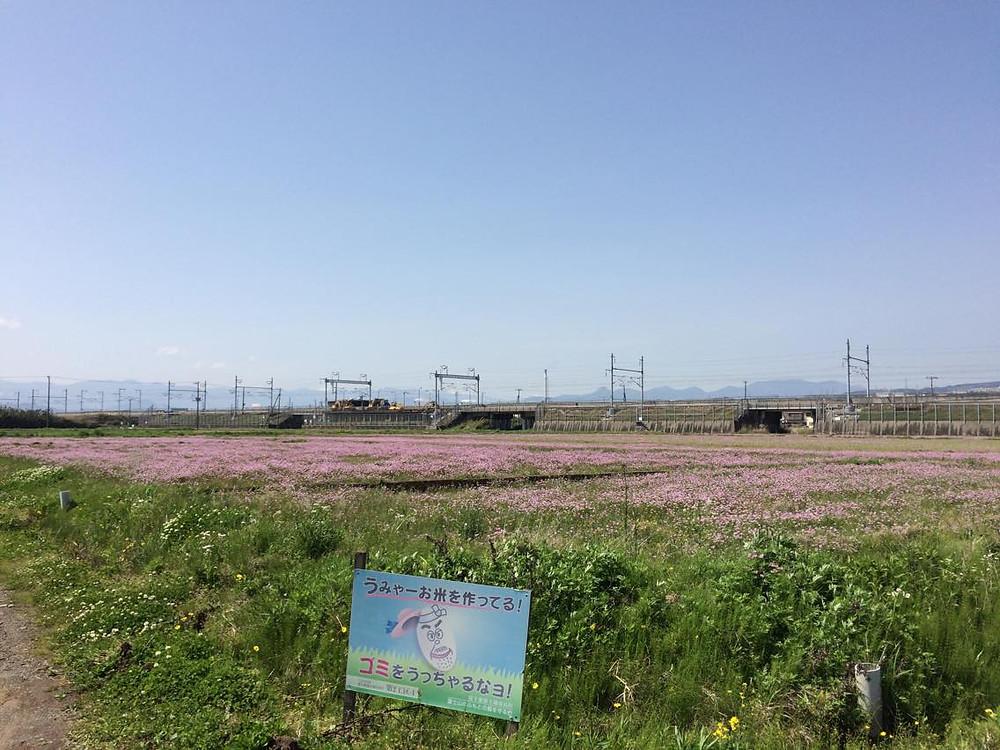 富士のれんげ畑