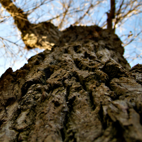 The Awesomeness of Oak Trees