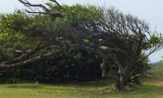 風剪樹.jpg