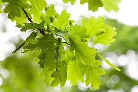 Fresh green oak tree leaves over white b