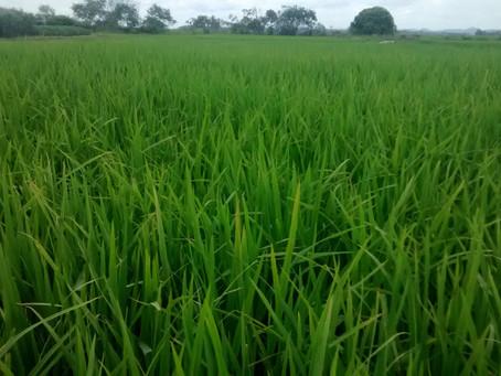 Lavouras de arroz apresentam variações de produtividade na colheita